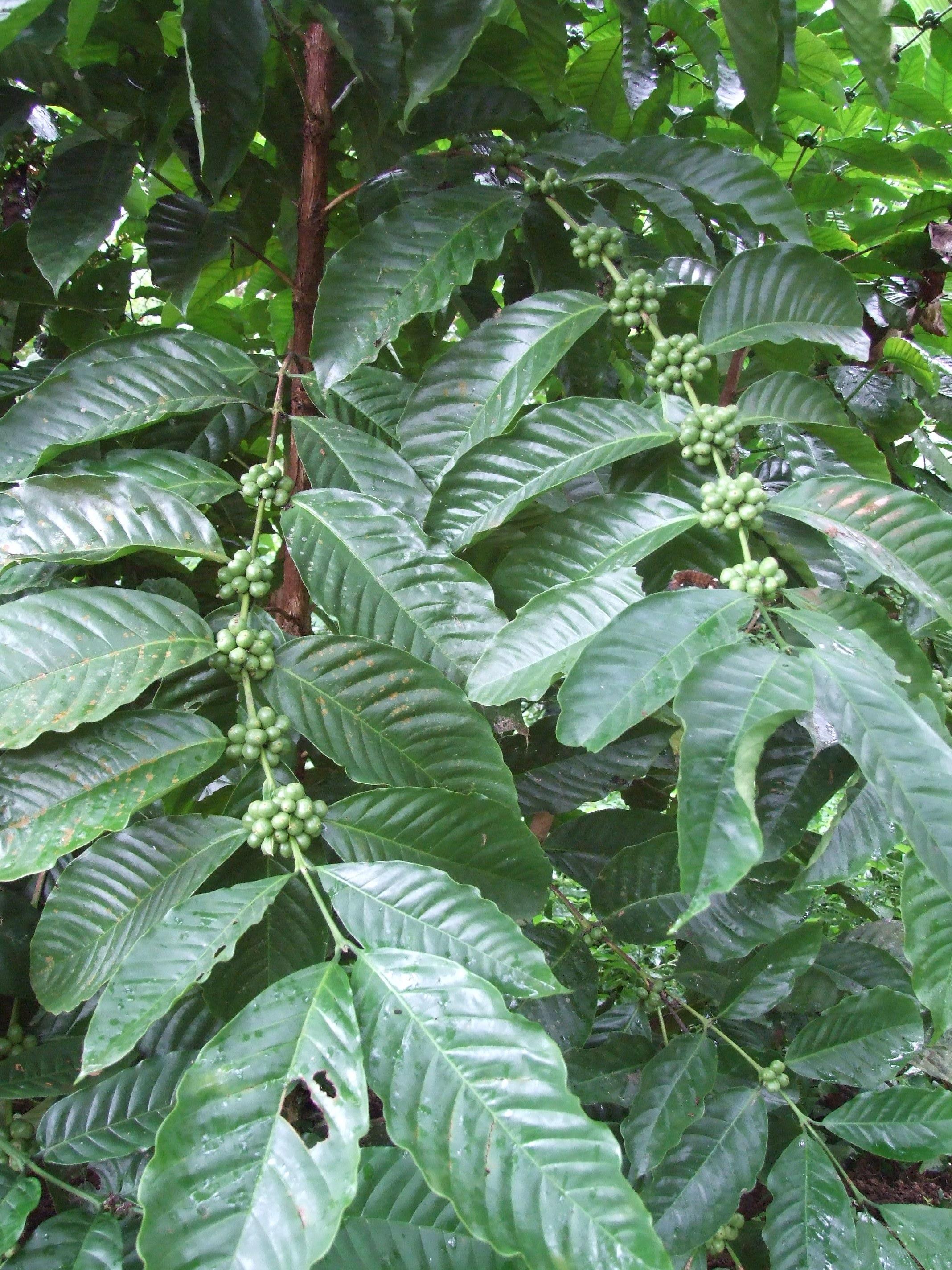 Coffea conifera unripe fruit.