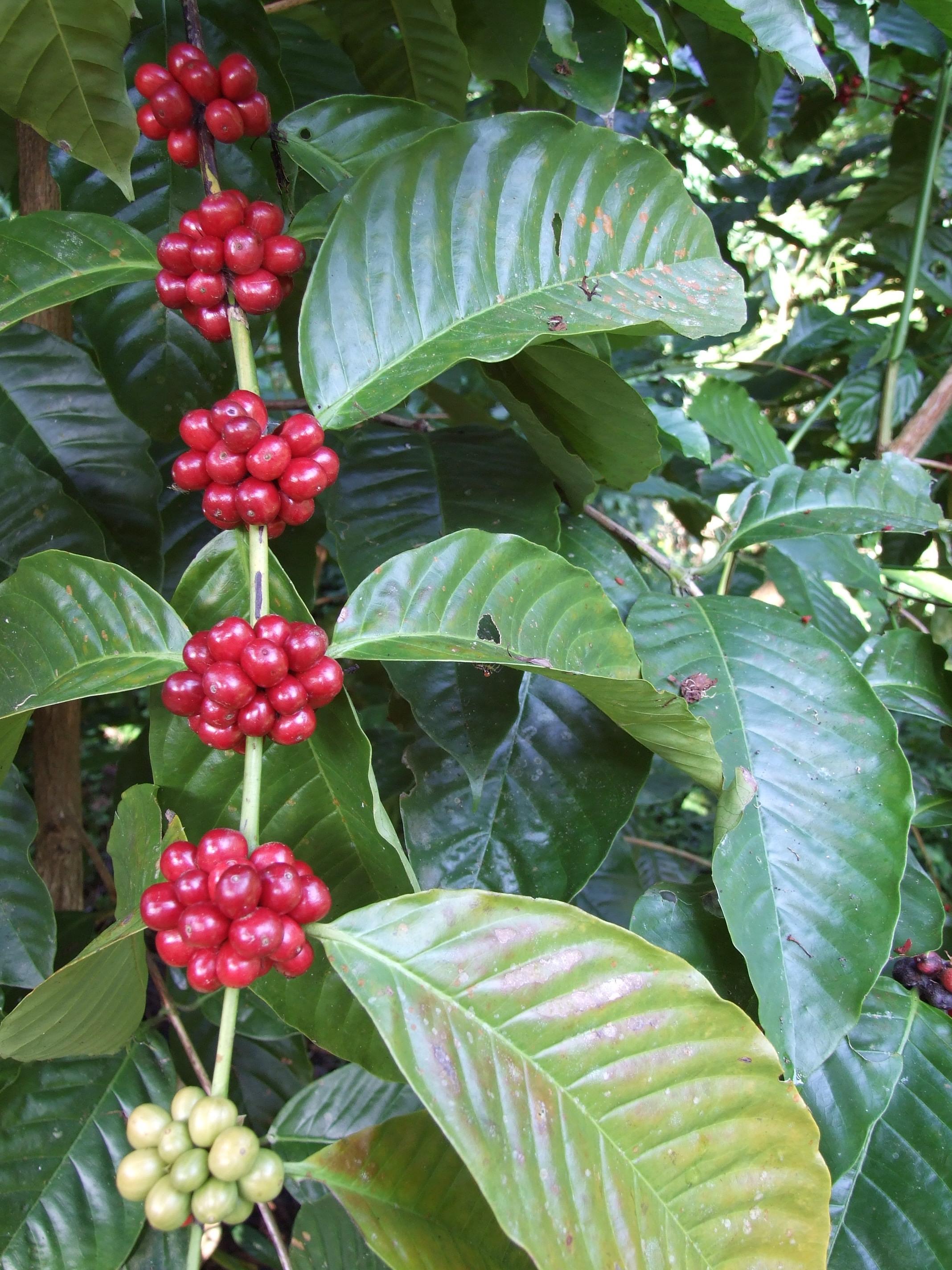 Coffea conifera fruit and leaf.