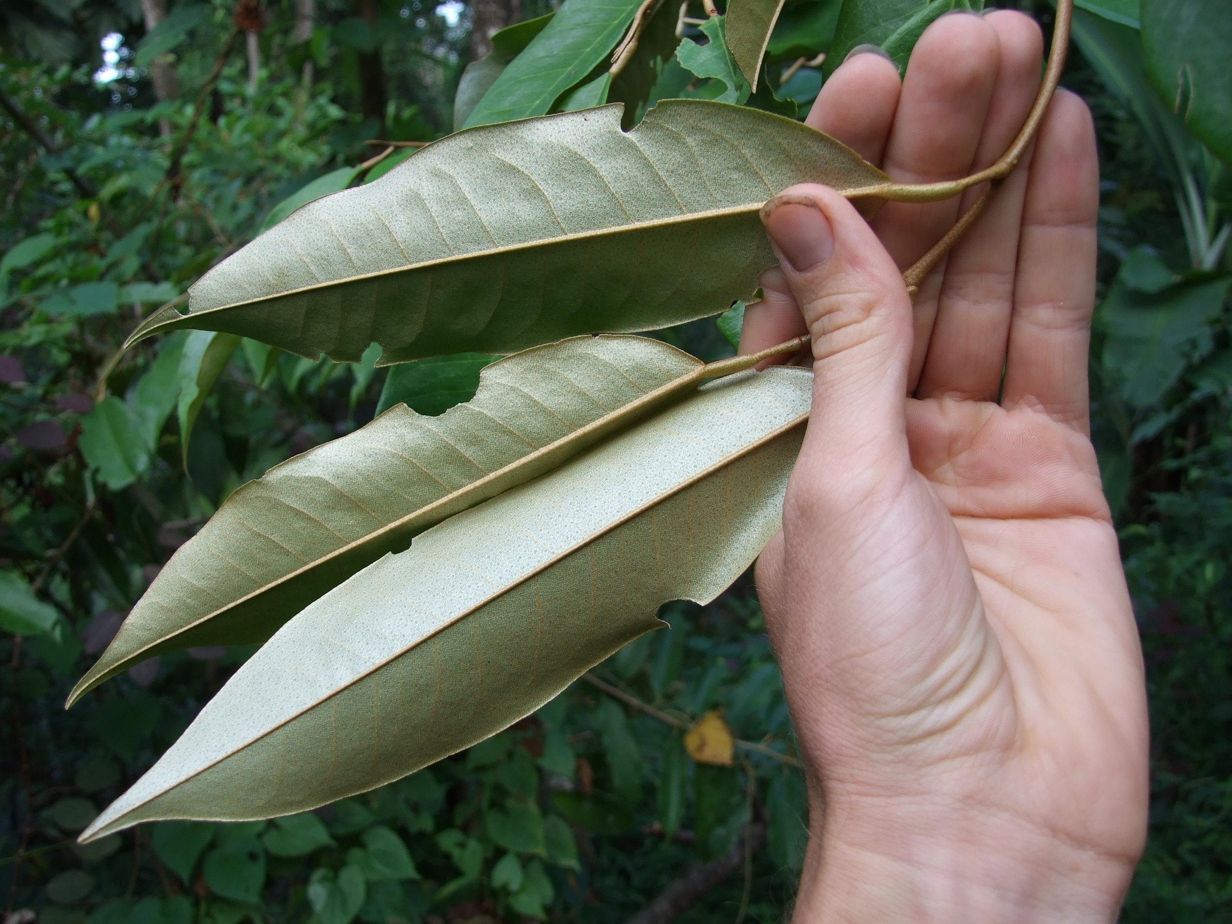 durian-leaf-underside1