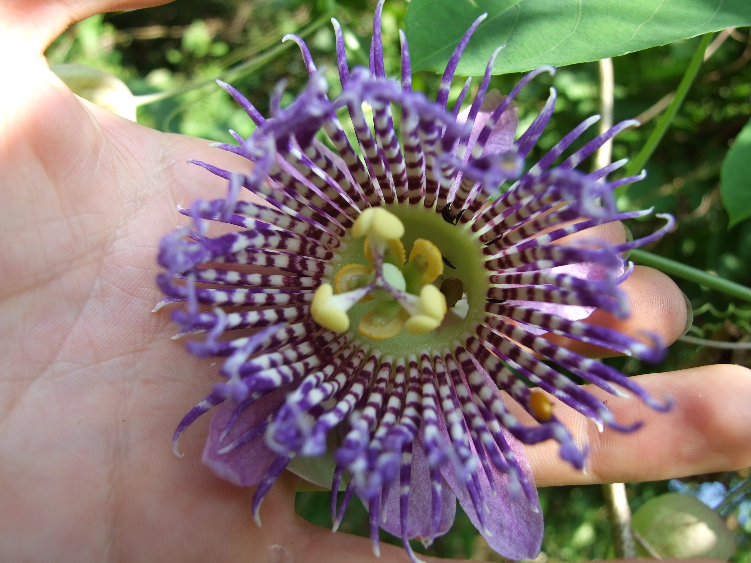 Passiflora seemanii close up.