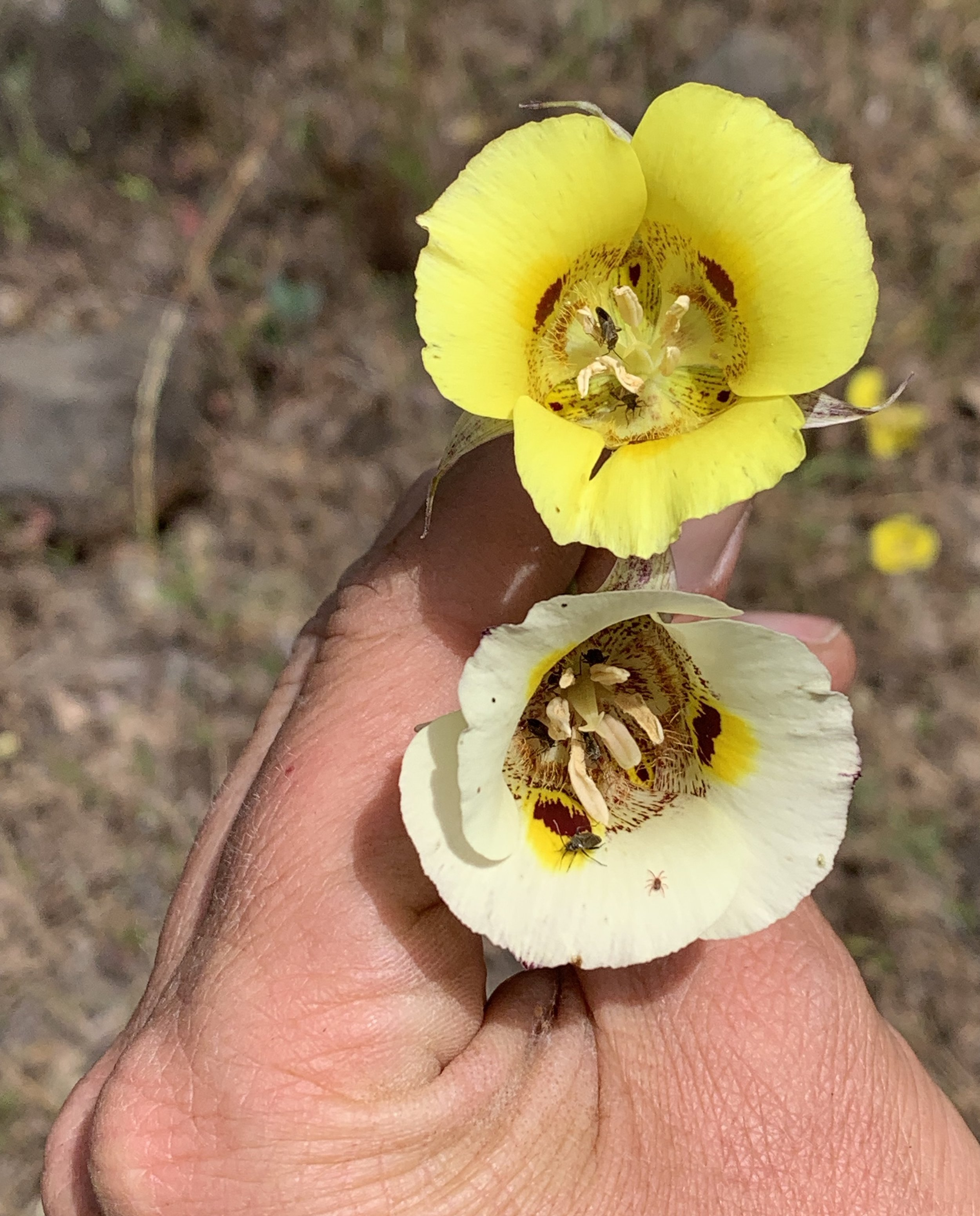 Calochortus lutes (yellow) and C. vestae (white).