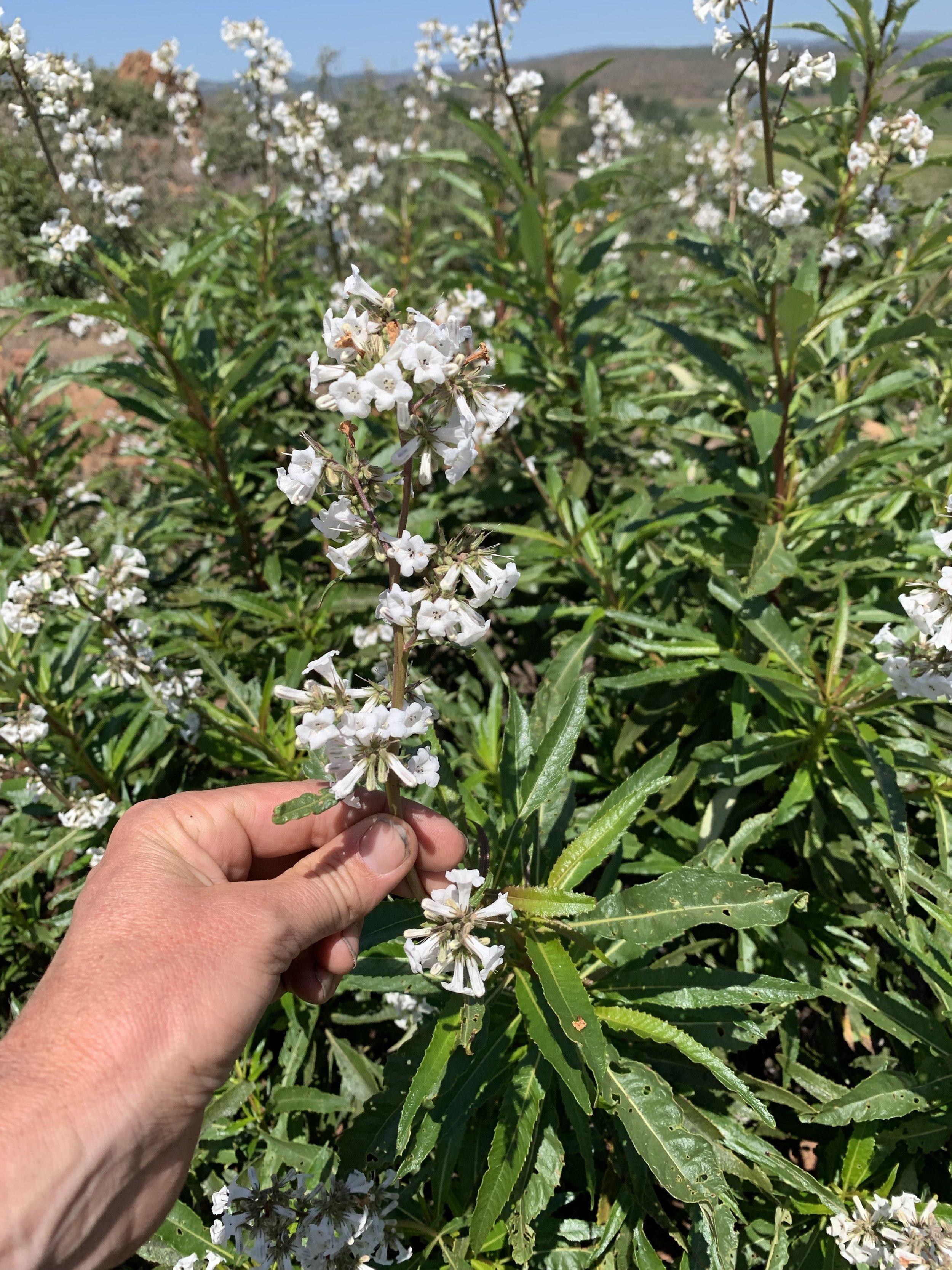 Eriodictyon californicum, Yerba Santa