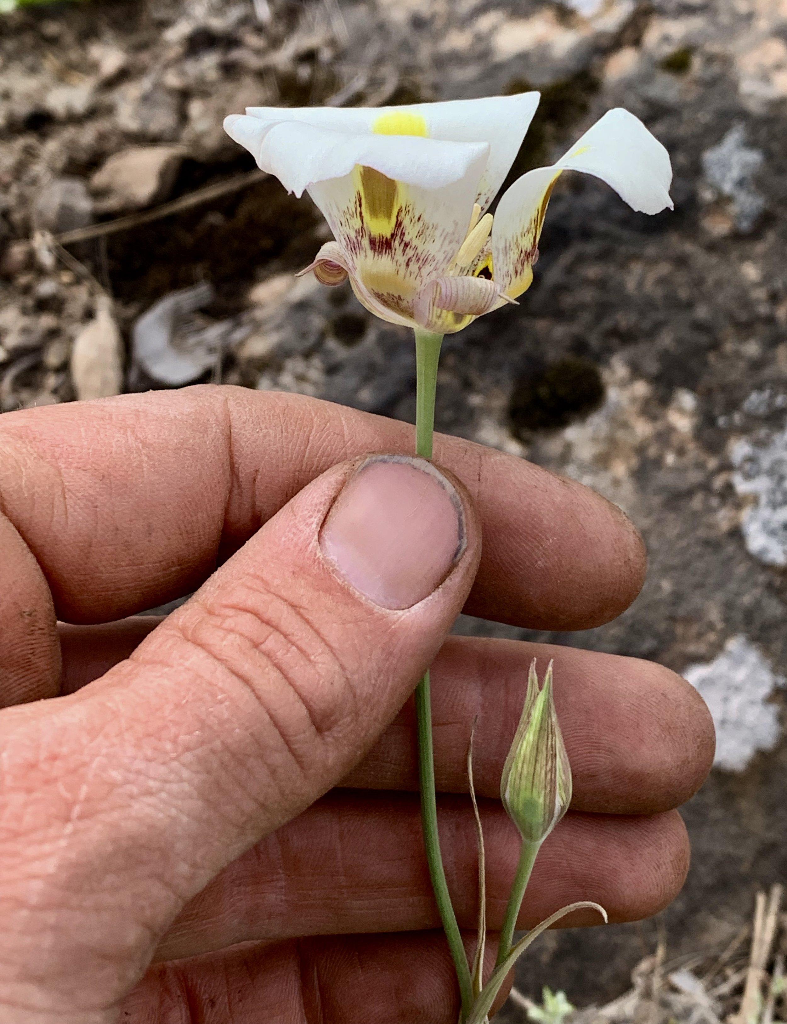 Calochortus venustus flower.