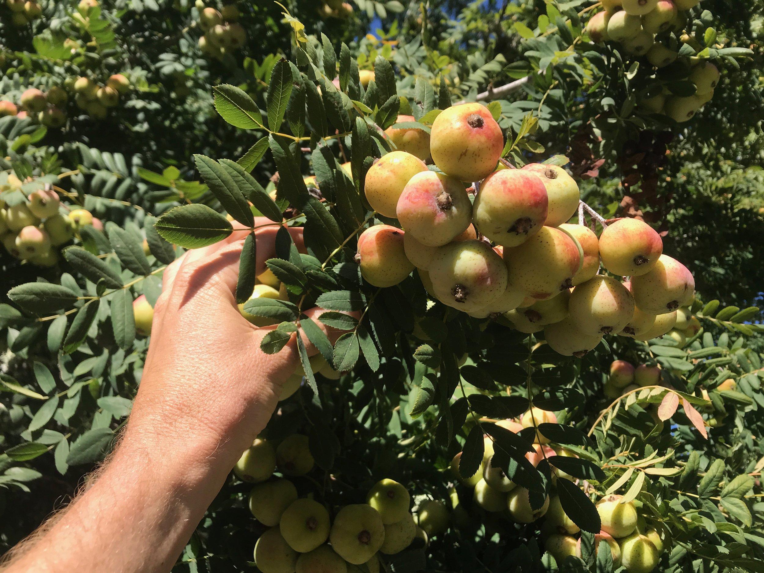 Almost ripe Sorbus domestica fruit on tree.
