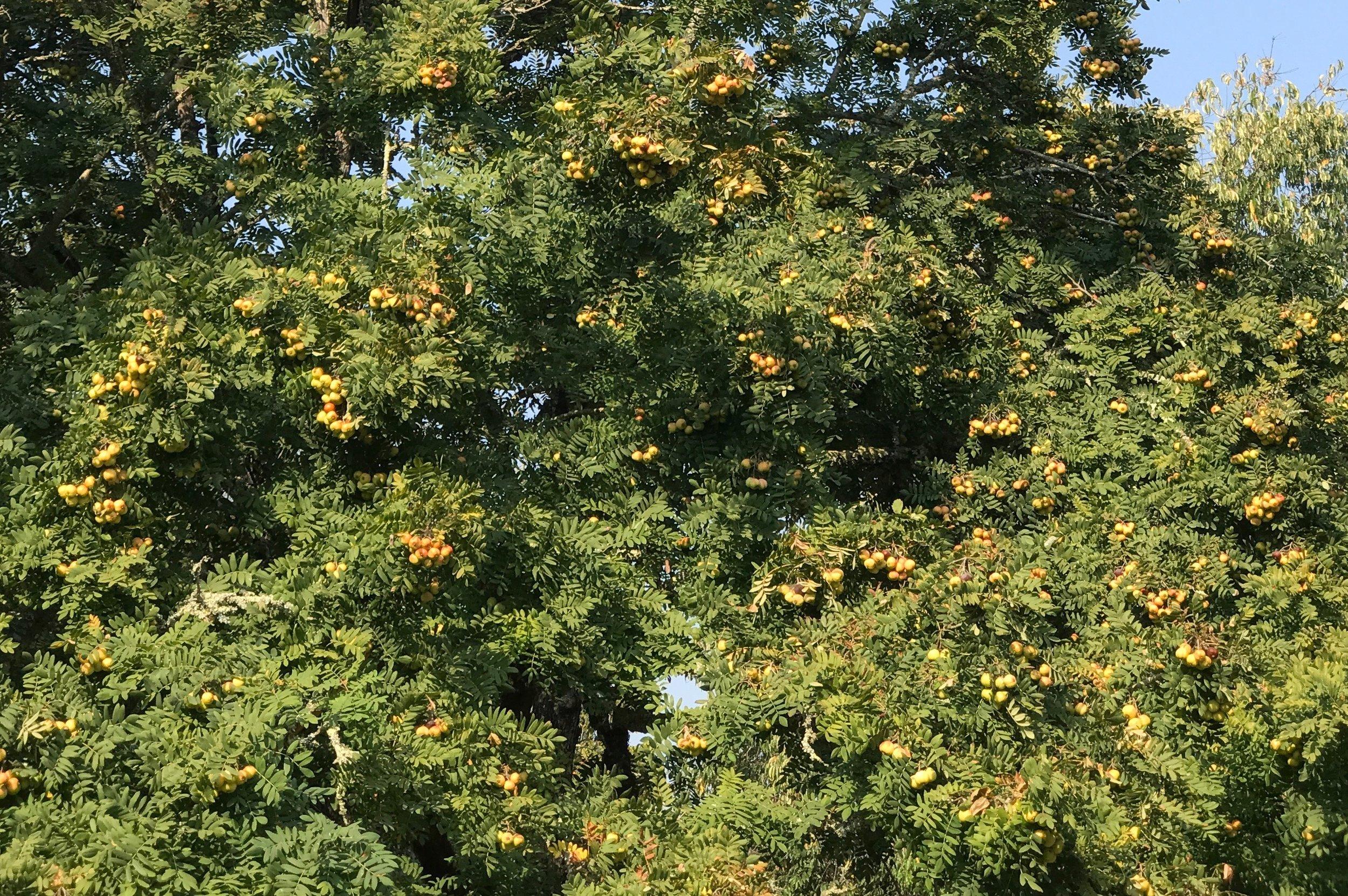The Sorbus domestic tree at Burbank Experimental farm halfway through the fruiting season. Very productive trees.