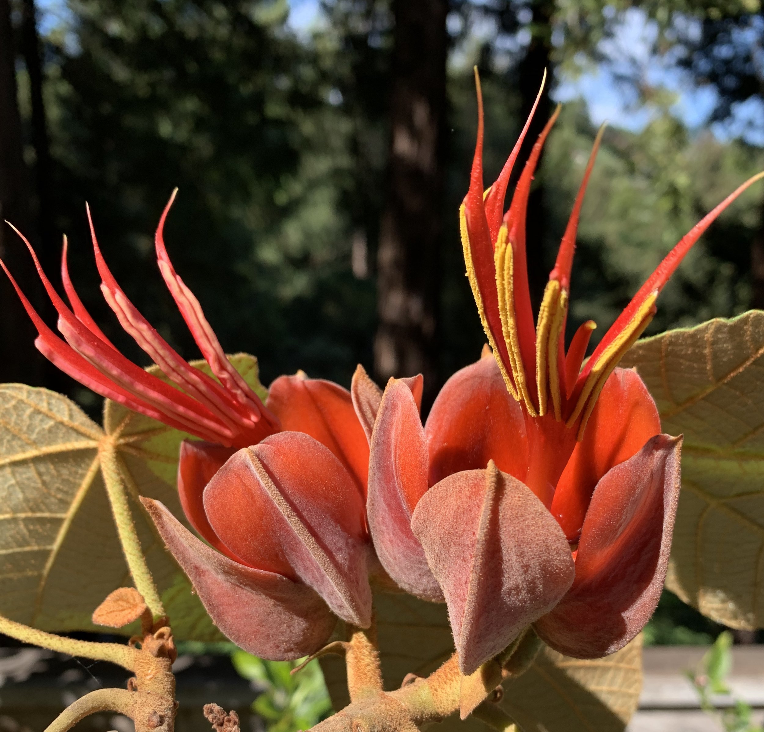 The bizarre and highly photogenic Chiranthodendron flower.