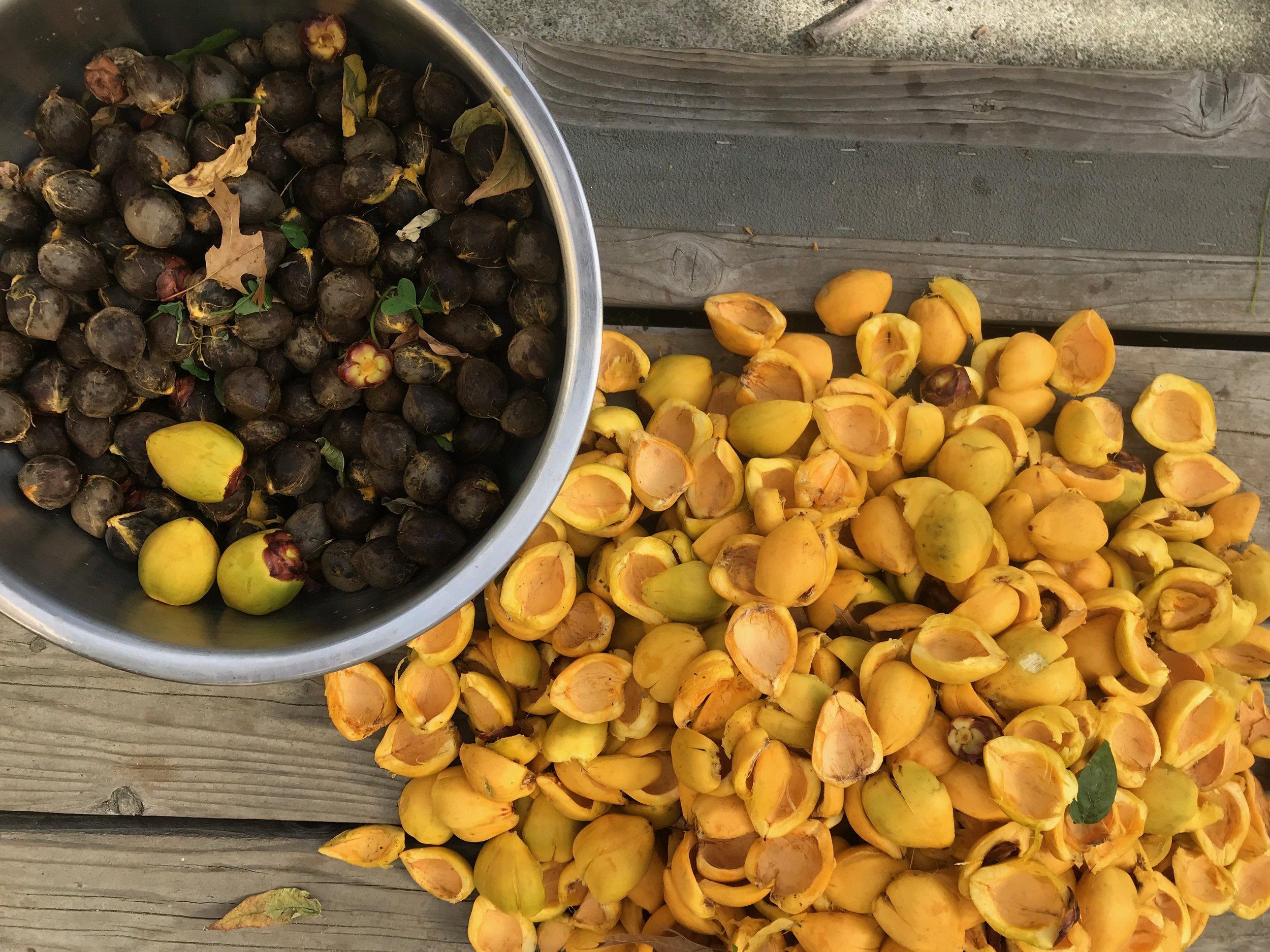 Jubaea processed seed.jpeg