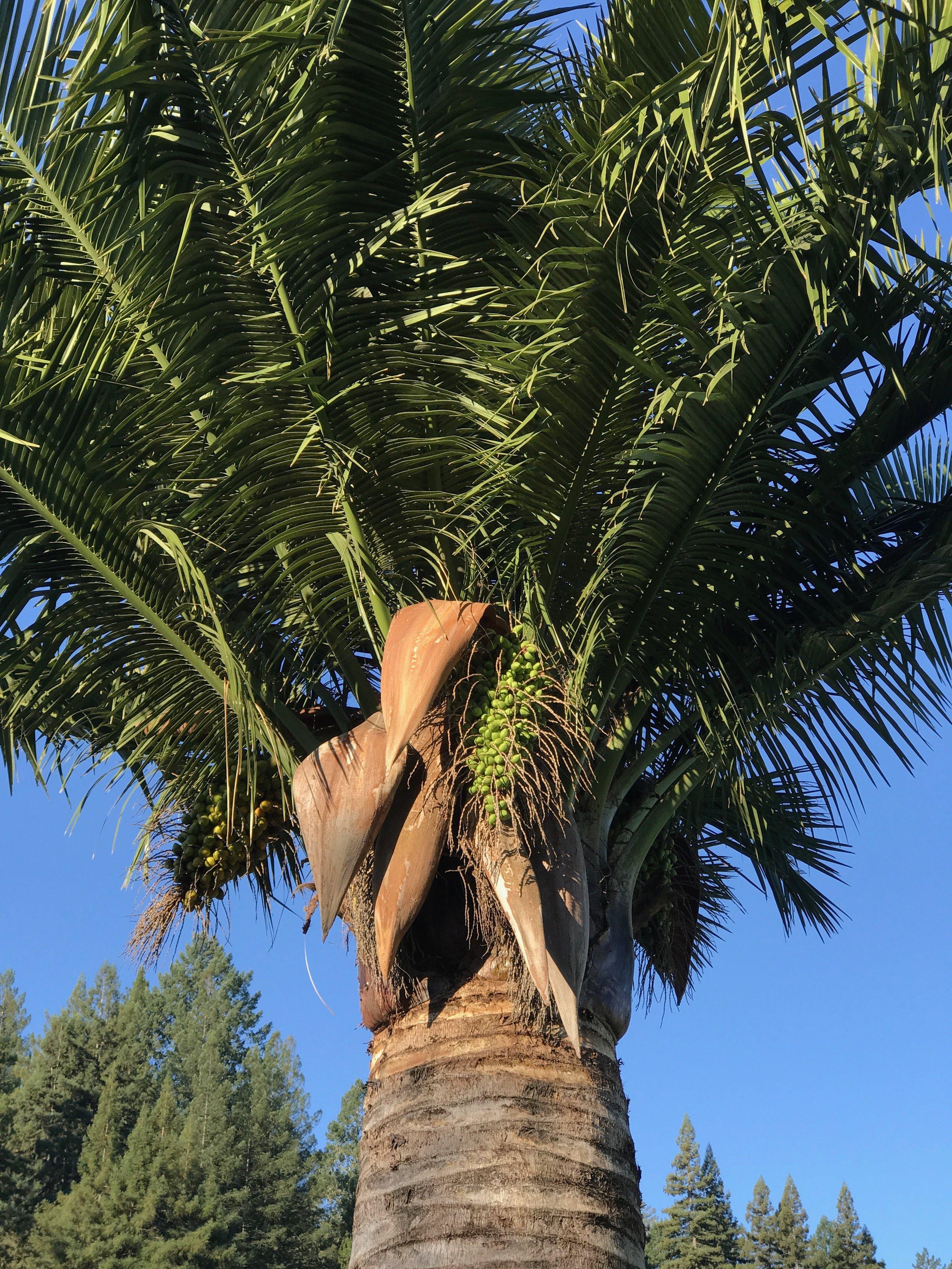Jubaea tree 4.jpeg