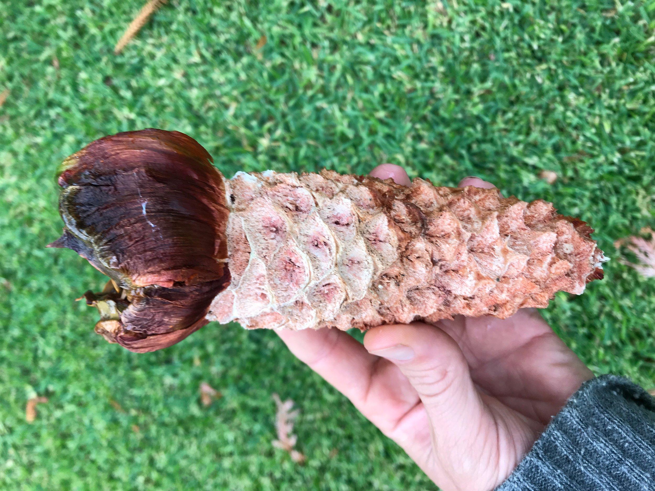 Araucaria bidwillii cone core.jpeg