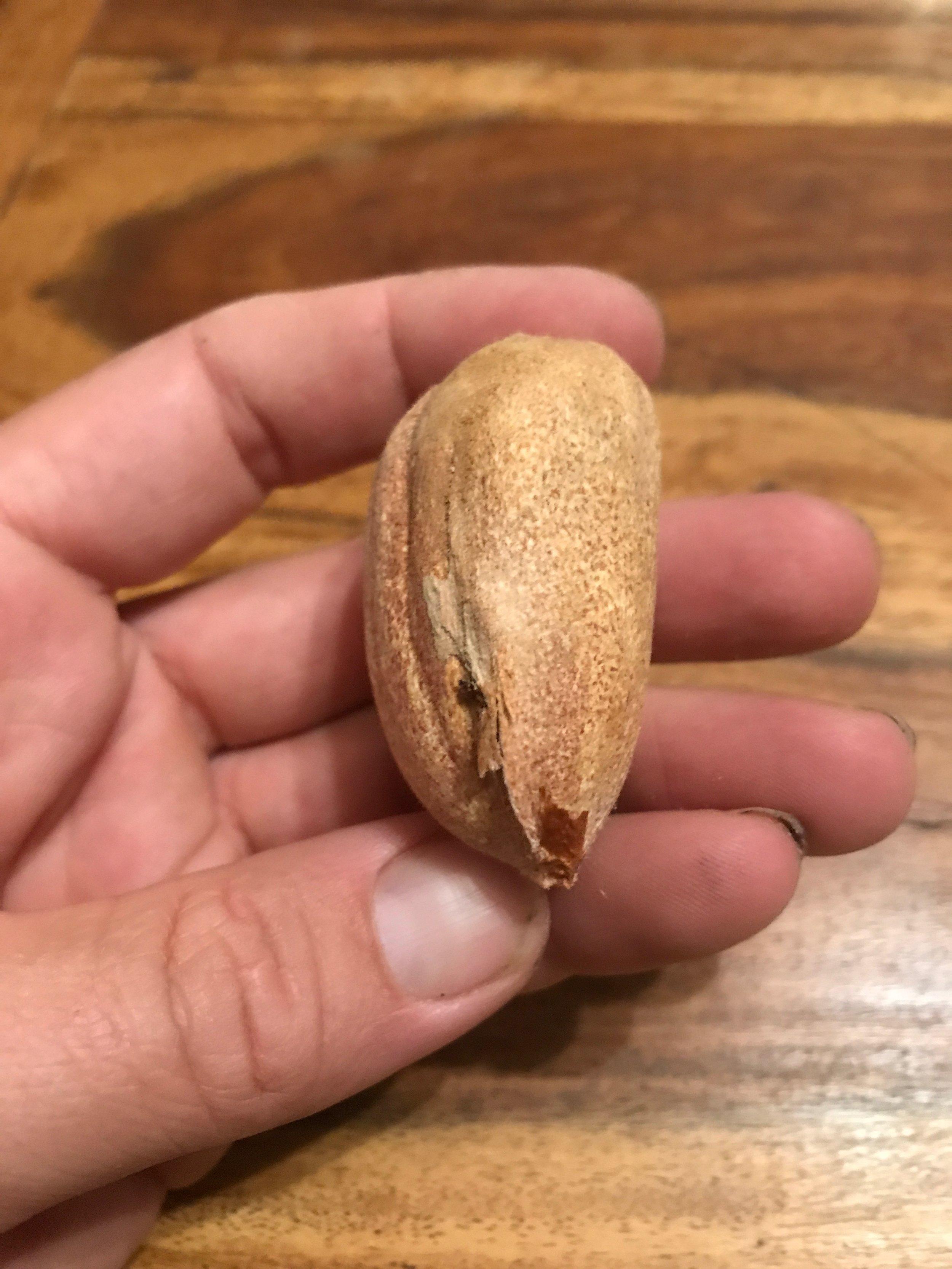 Araucaria bidwillii seed.jpeg
