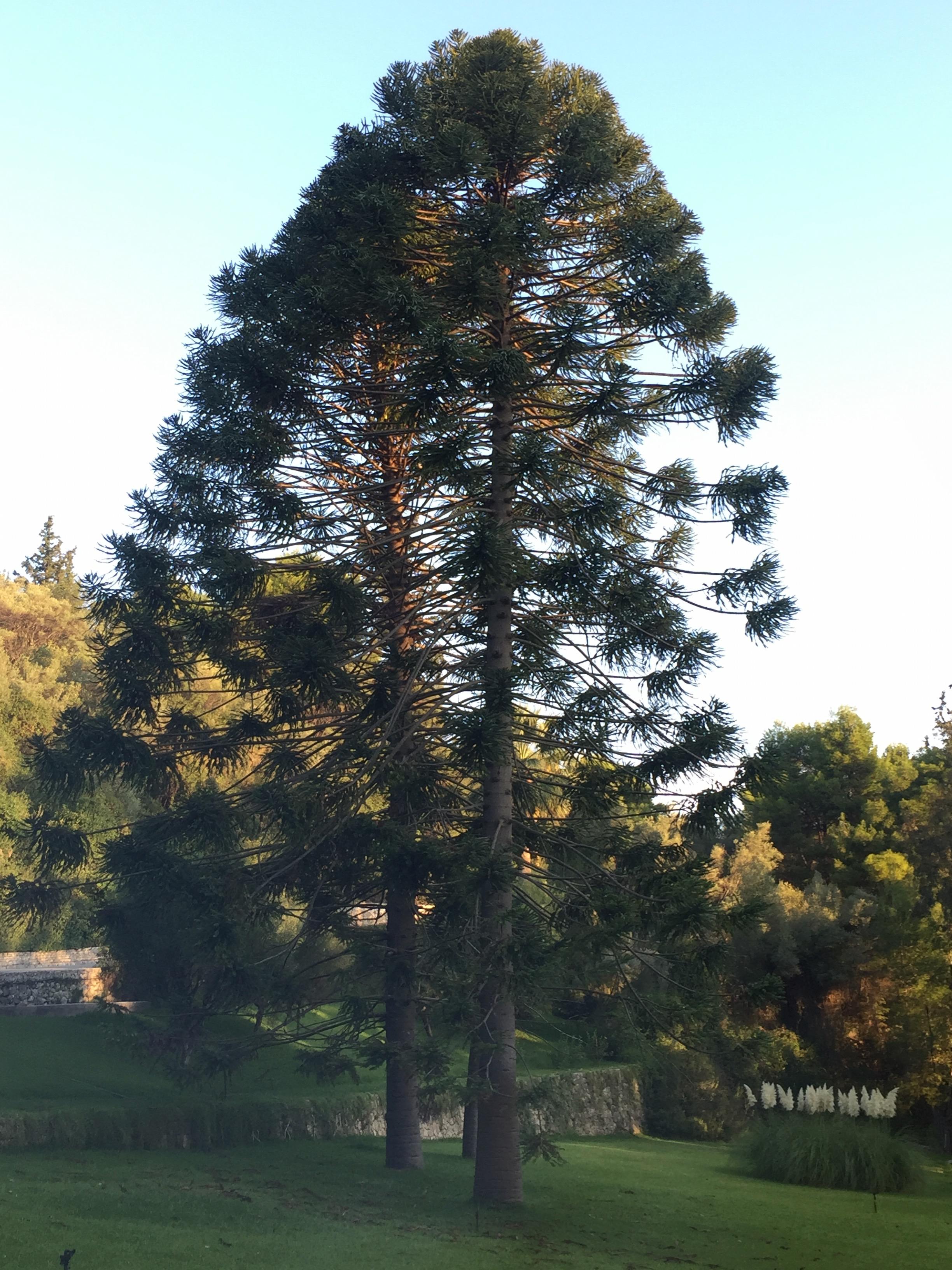 Araucaria bidwillii tree.jpeg