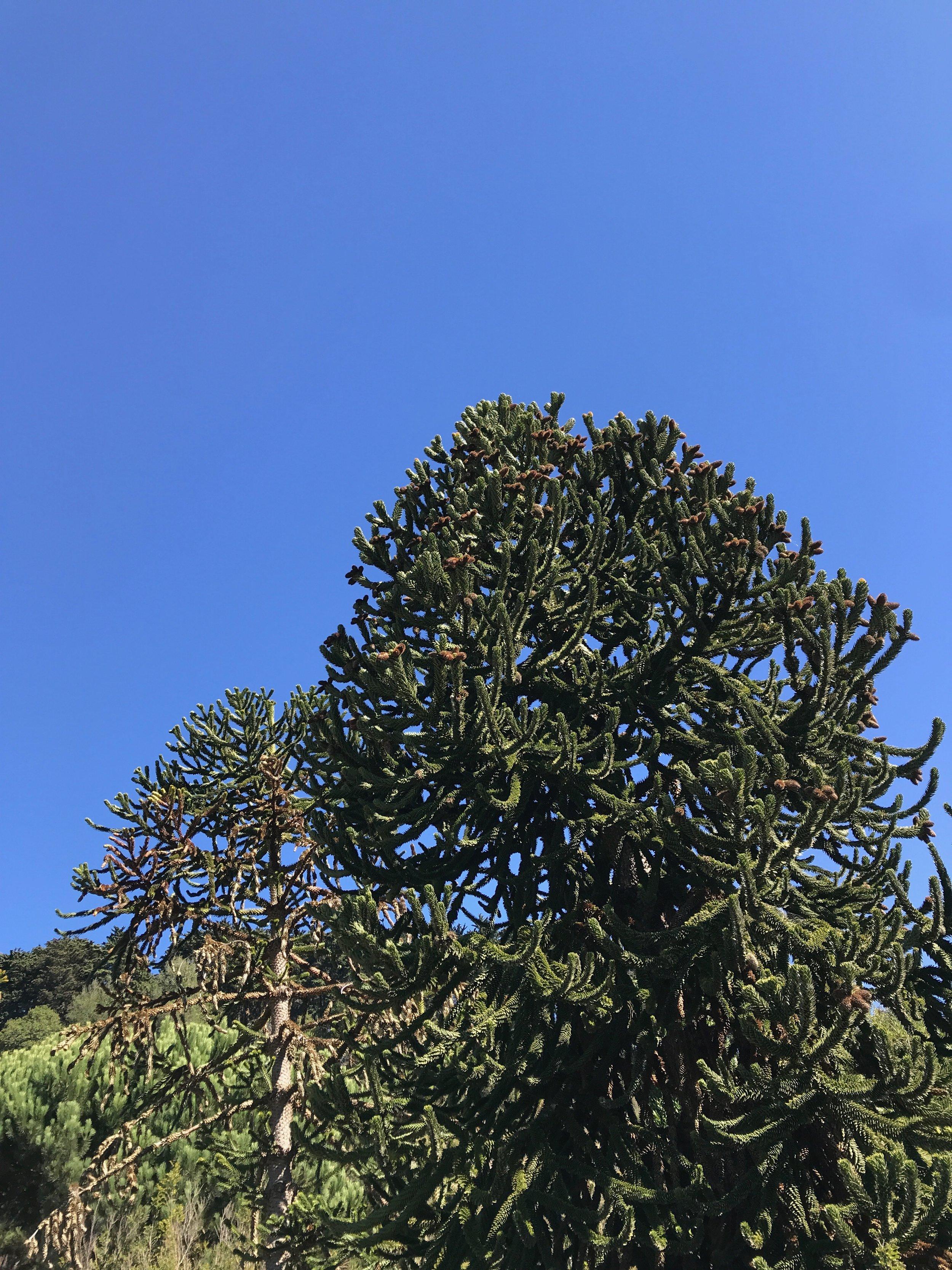 Araucaria araucana trees.jpeg