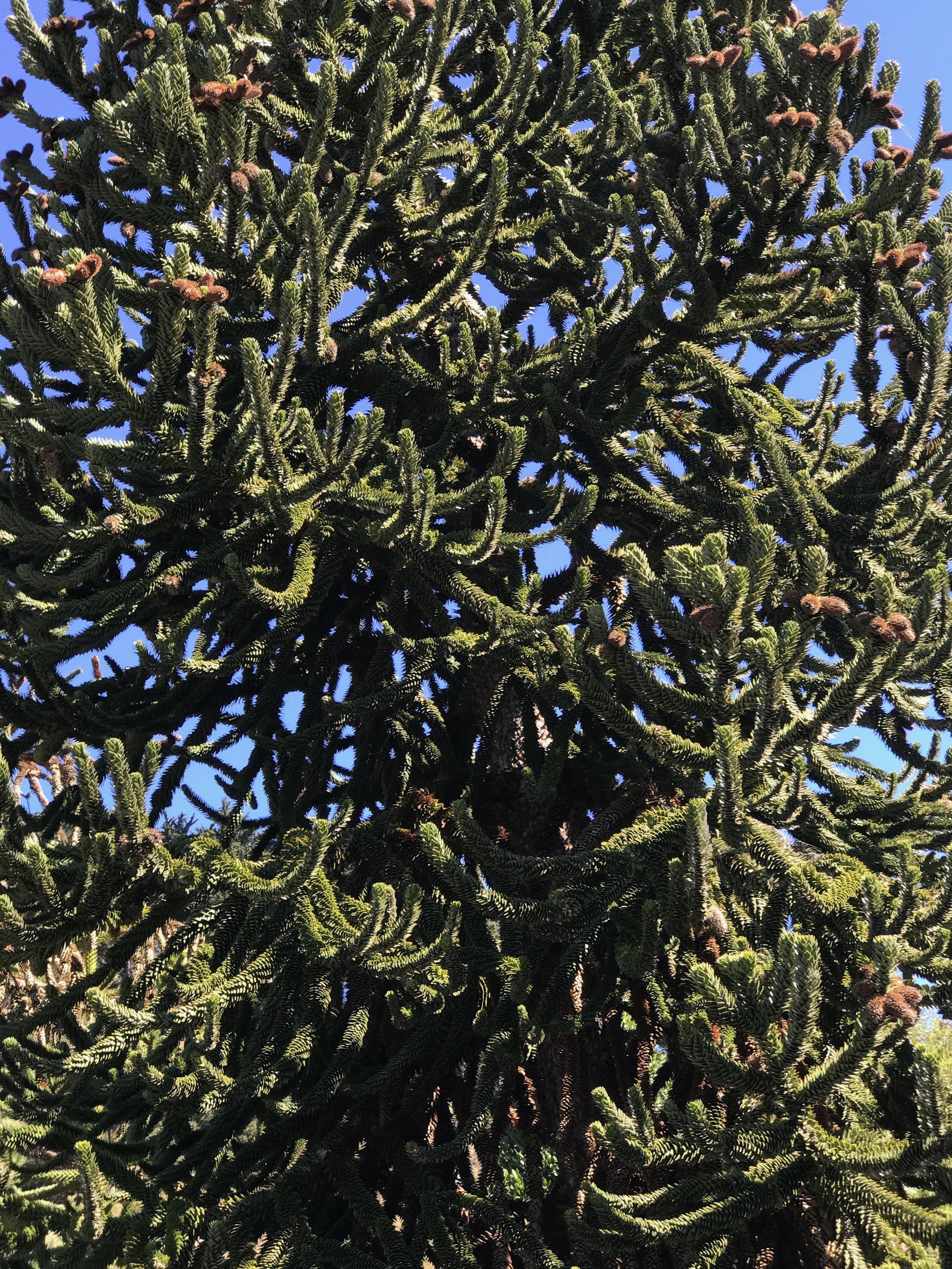 Araucaria araucana leaf.jpeg