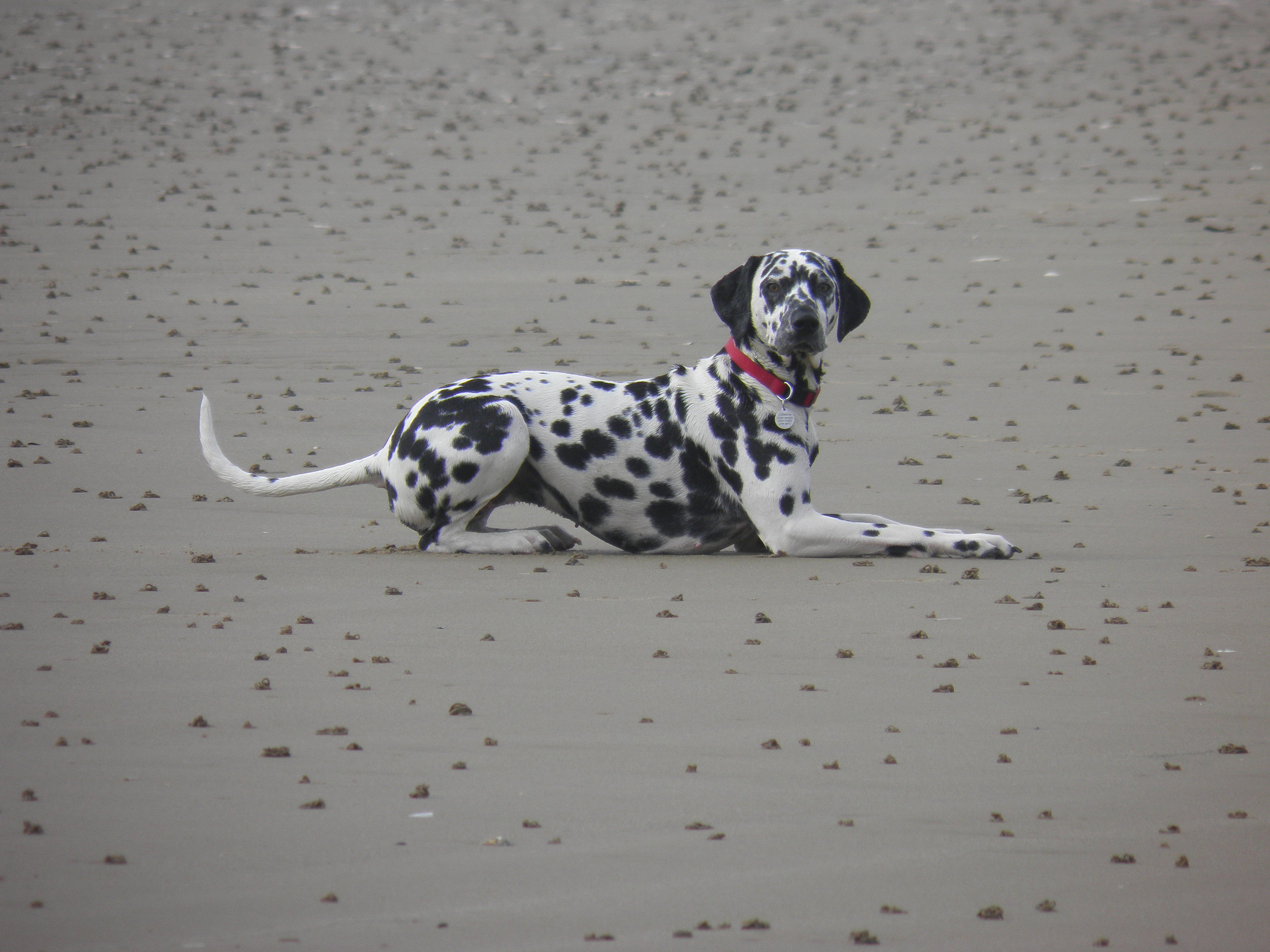 Dalmation dog in Norfolk on the beach