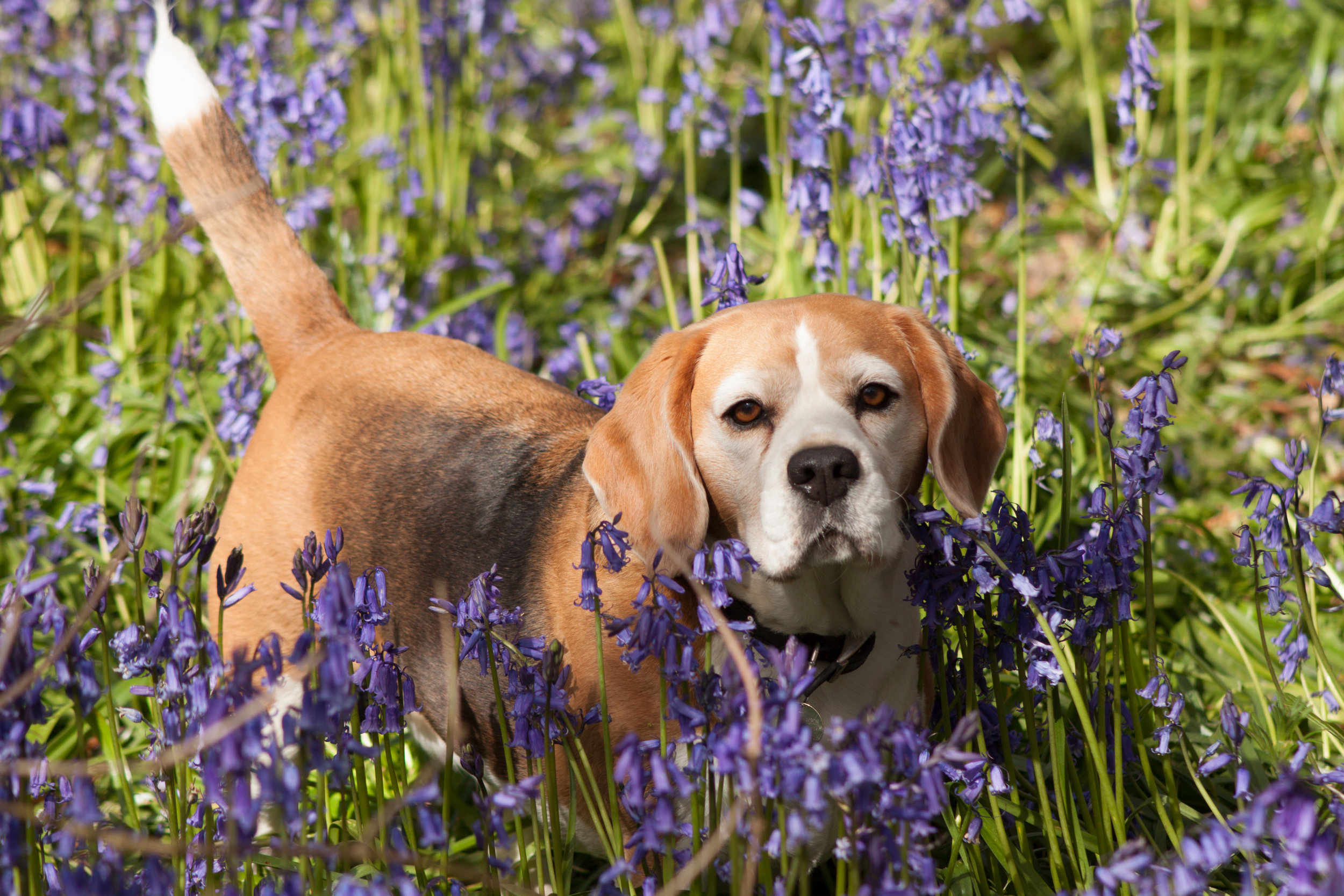 Beautiful beagle in bluebells in stevington