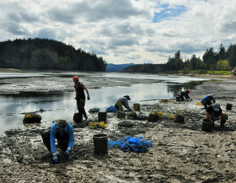 Harvesting farmed oysters, Washington State.