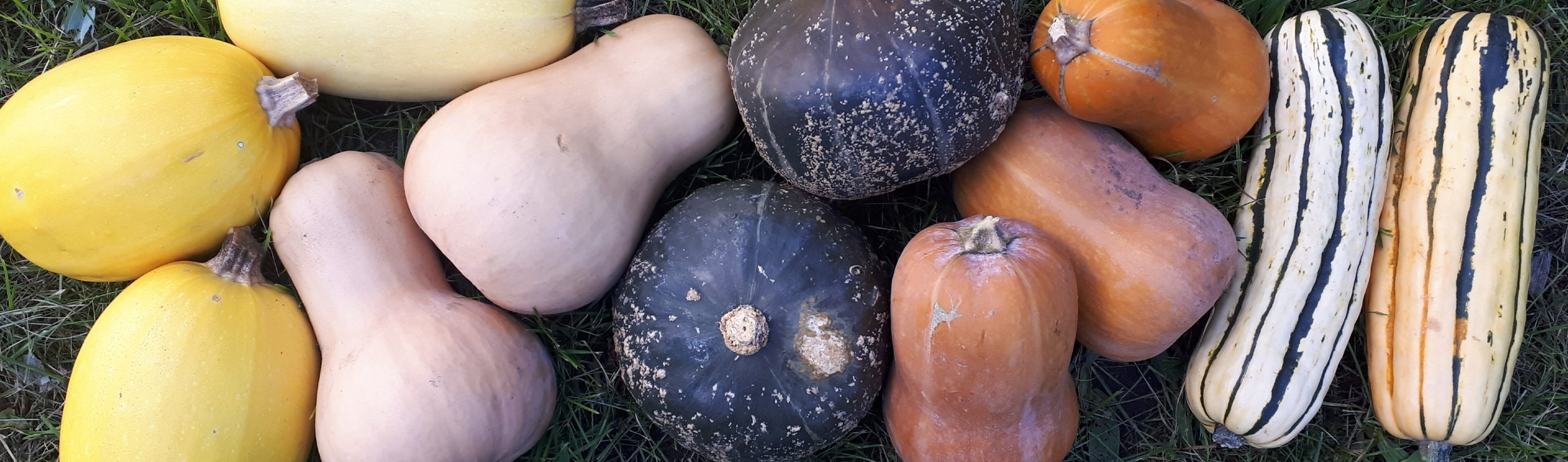From left to right: Spaghetti squash; butterNUT (tan); butterCUP (dark green); Honeynut; Delicata; not shown: Sweet Dumpling… they are the same colouring as Delicata, but a round shape