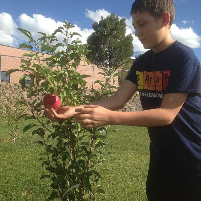Student harvesting heritage apple- school gardens at CMS.jpg