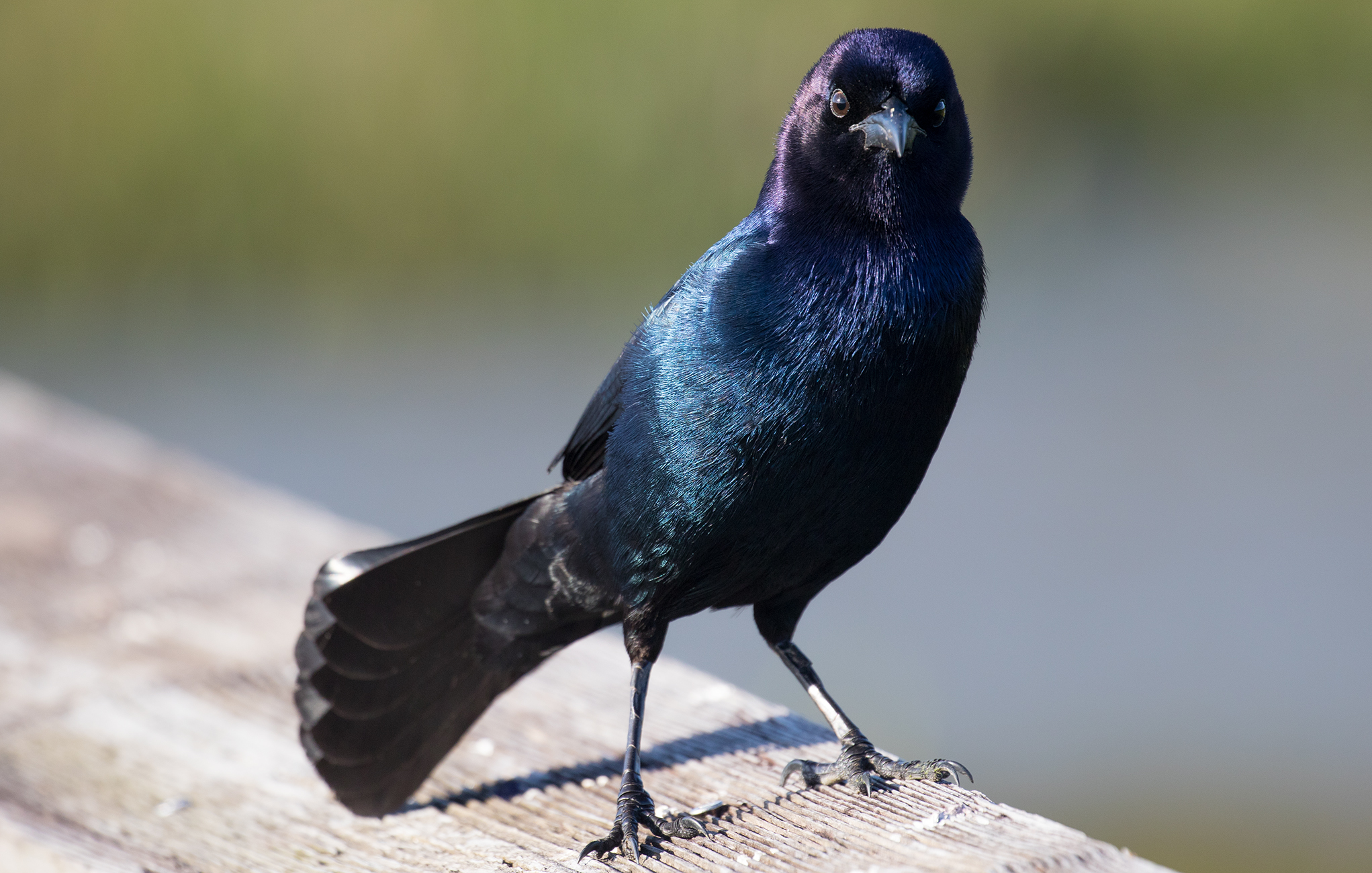 Adult Male Boat-tailed Grackle