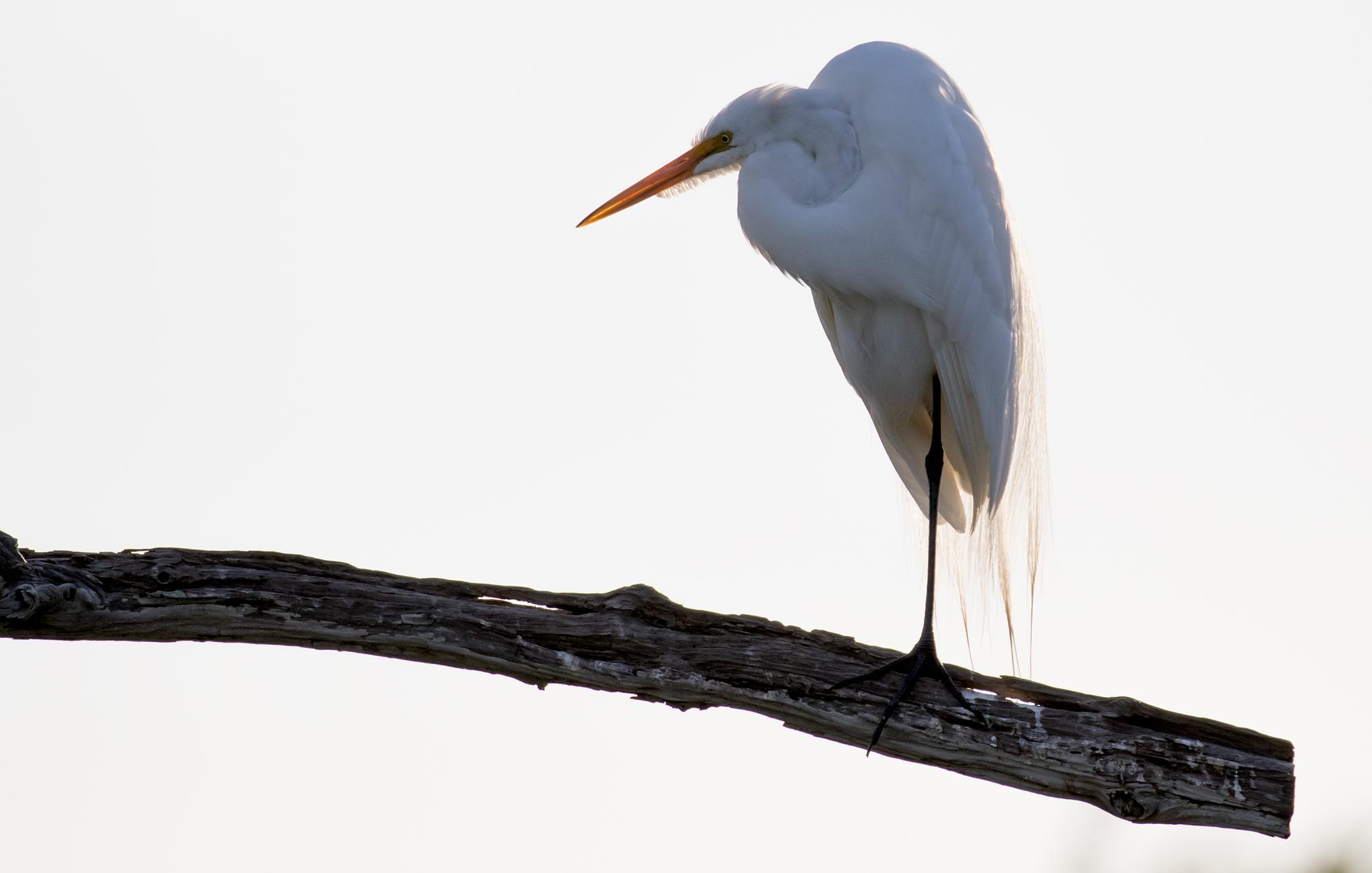 Adult Great Egret