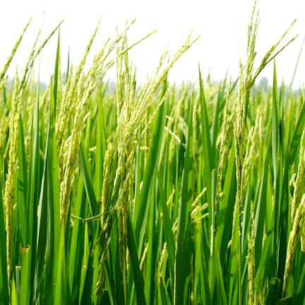 agraloop-ricestraw-web-sq.png