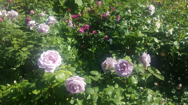 Flower Garden, Hyde Park, London