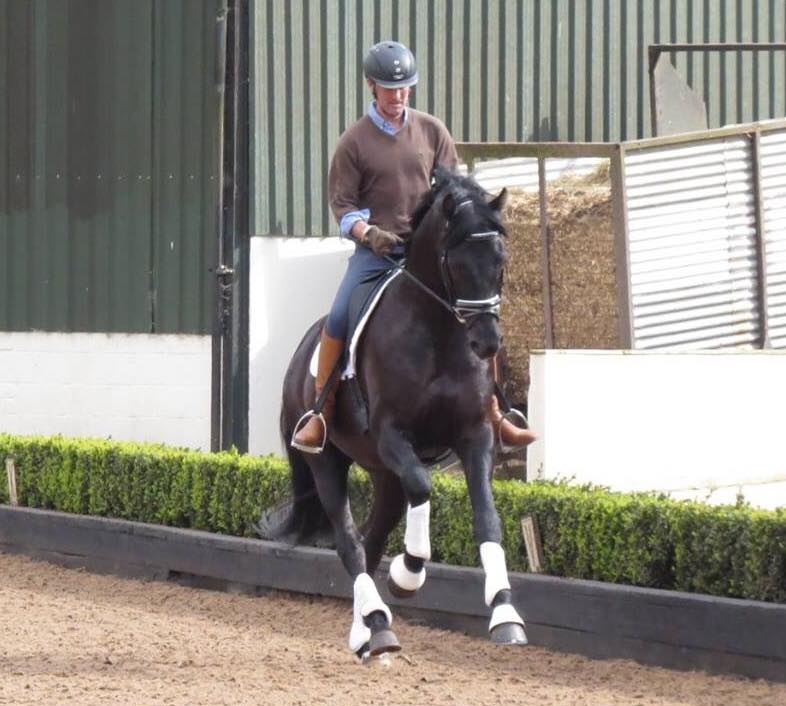 One of Lordswood's stallions having some pointers from Carl Hester