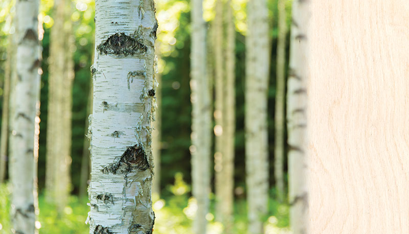 wood-species-birch-gradient.jpg
