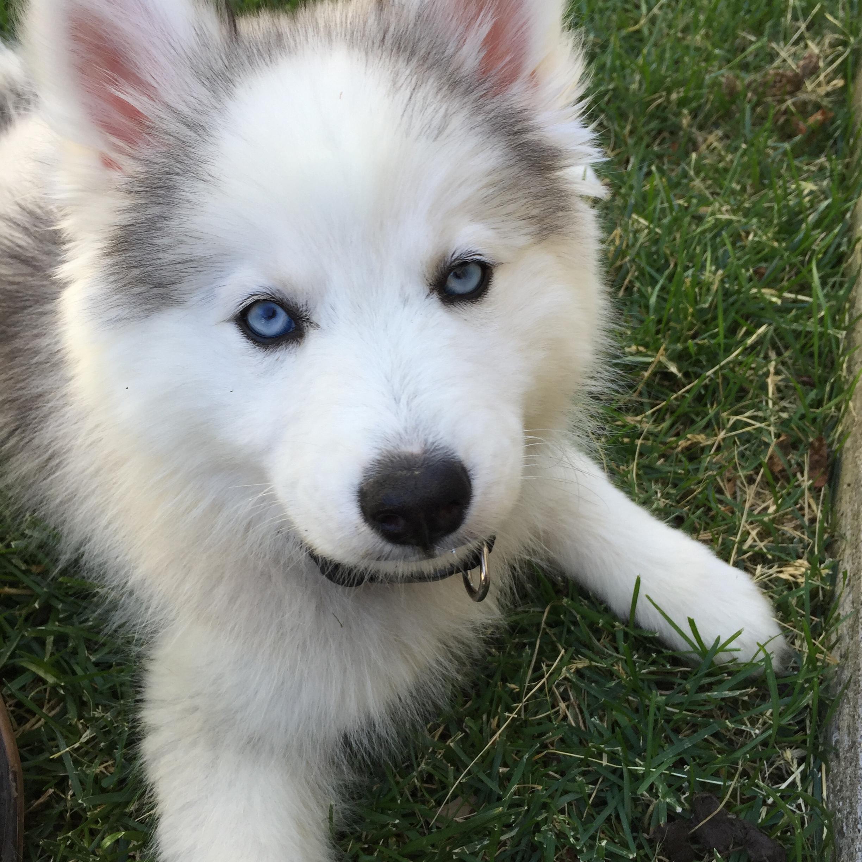 Puppies - @AspenCreekPomskies