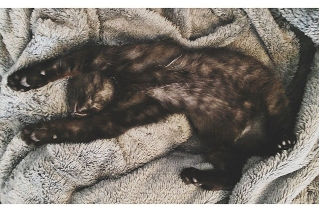 sleepy wildebeest cat tax