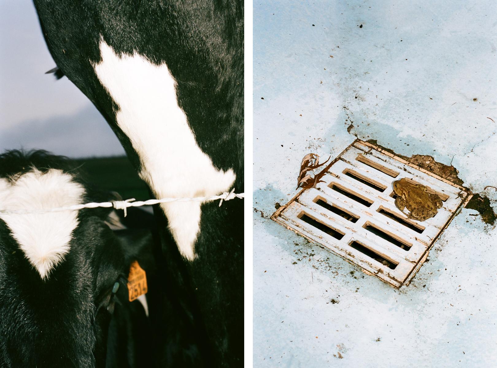 COWS + TOAD.jpg