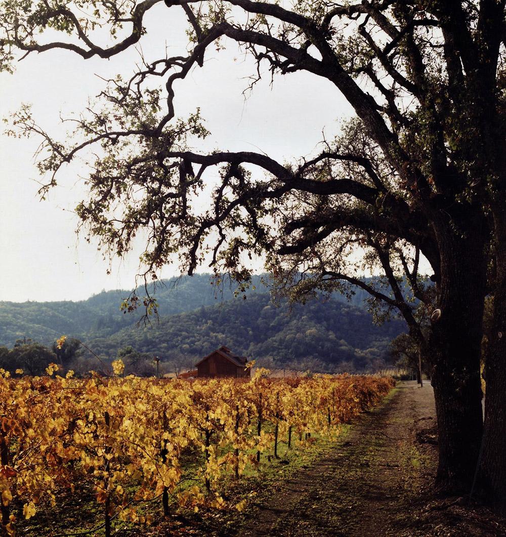 Oak vineyard - Napa Valley
