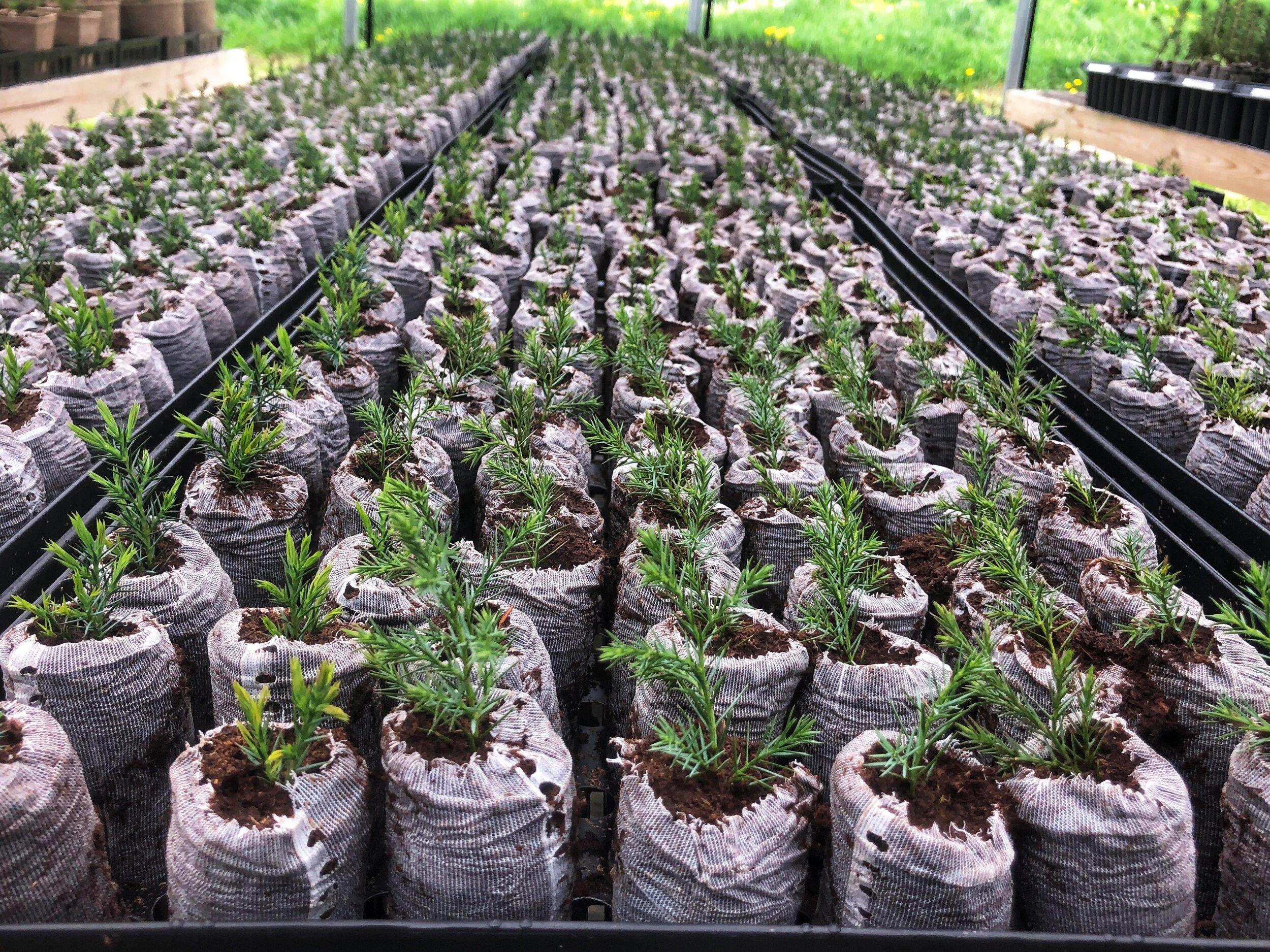 Little Saps Tree Seedlings