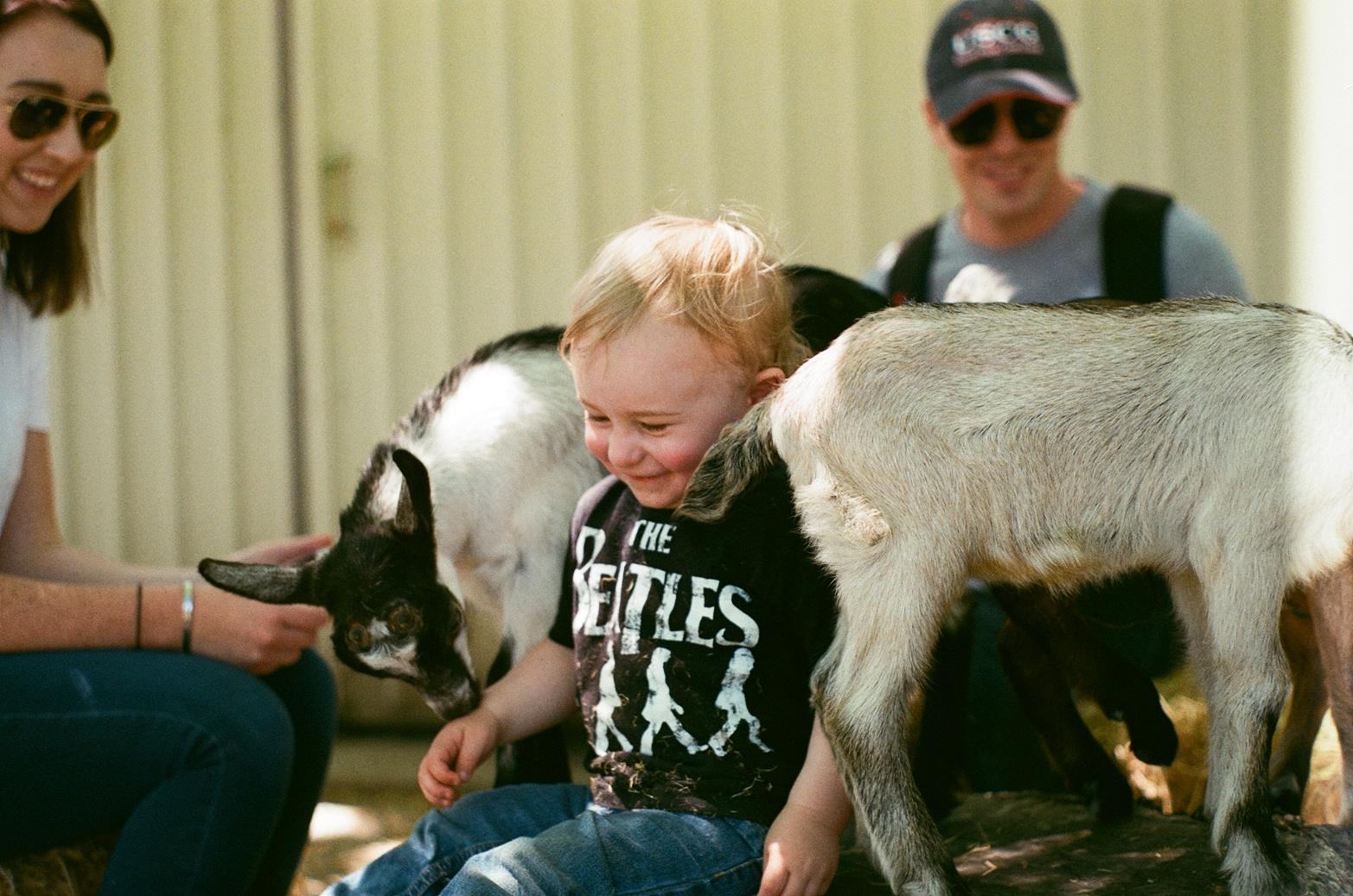 bowie + goats