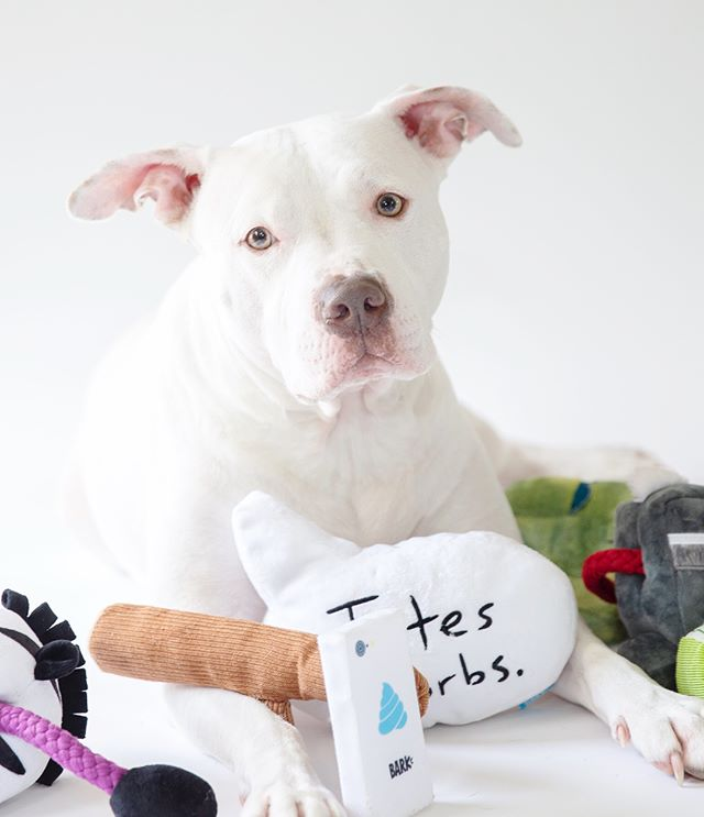 """With millions of dogs, cats and other animals living in shelters across the US we absolutely love @bark 's new treat collection, """"Snacks that Give Back"""". (swipe to check out some of the treats) _ Each bag that is purchased benefits a local shelter across the country. As of right now, there are 7 shelters being supported.  _ California - A Purposeful Rescue  Chicago - One Tail at a Time Dog Rescue Hawaii - Rainbow Friends Animal Sanctuary Kansas - Unleashed Pet Rescue and Adoption New York - Foster Dogs, Inc. Philly - PAWS; Philadelphia Animal Welfare Society Wisconsin - Fetch Wisconsin Rescue  _ What's better than buying treats for a cause?! And, of course Jax is loving his new toys from the new @bark collection with @urbanoutfitters. They're all so fun! I mean, check out my selfie stick! 😂😍"""