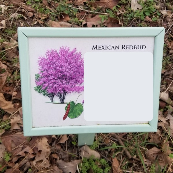 Mexican redbud.jpg