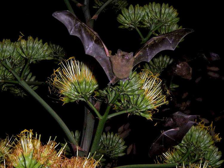 bat and agave.jpg