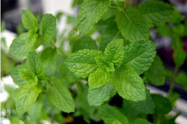 Peppermint - Best for nausea, bloating, PMS, & bad breath