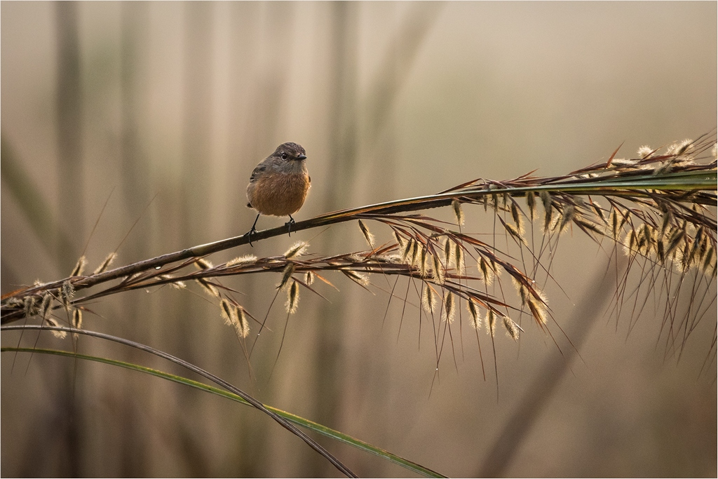 48 Stonechat Early Morning © Ian Francis ARPS DPAGB