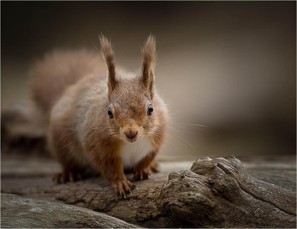 242_Red Squirrel_Jules Syrett LRPS