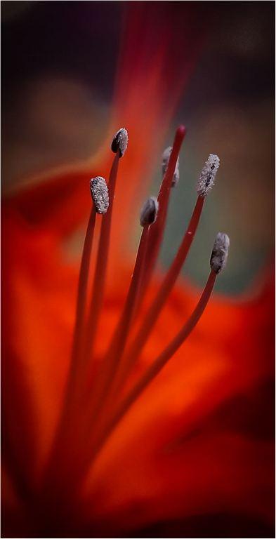 Nerine © Elaine Adkins