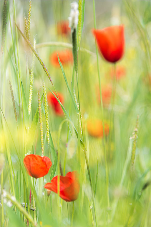 Poppy © Jim Young