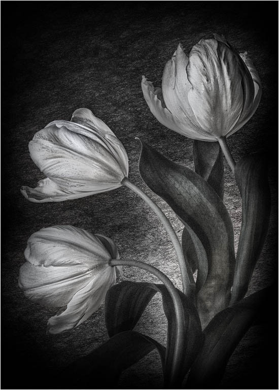 Tulip Study © Fay Bowles ARPS