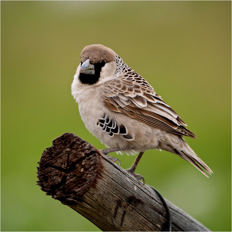 29 Tree Sparrow © Paul Brushwood