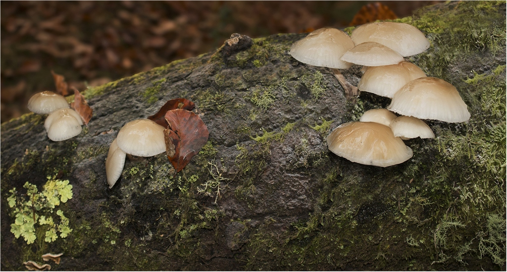 31 Woodland Mushrooms © Neil Grimshaw