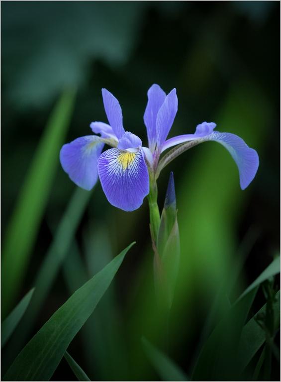 Iris © Jim Pascoe Ba(hons) ABIPP,
