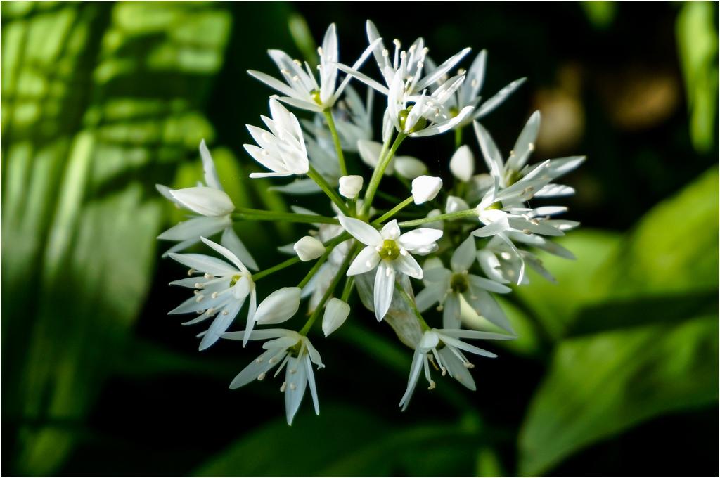 Garlic Flower © Ann Hart