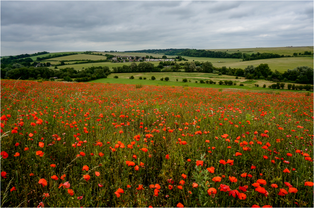 Wiltshire Popies © Ann Hart