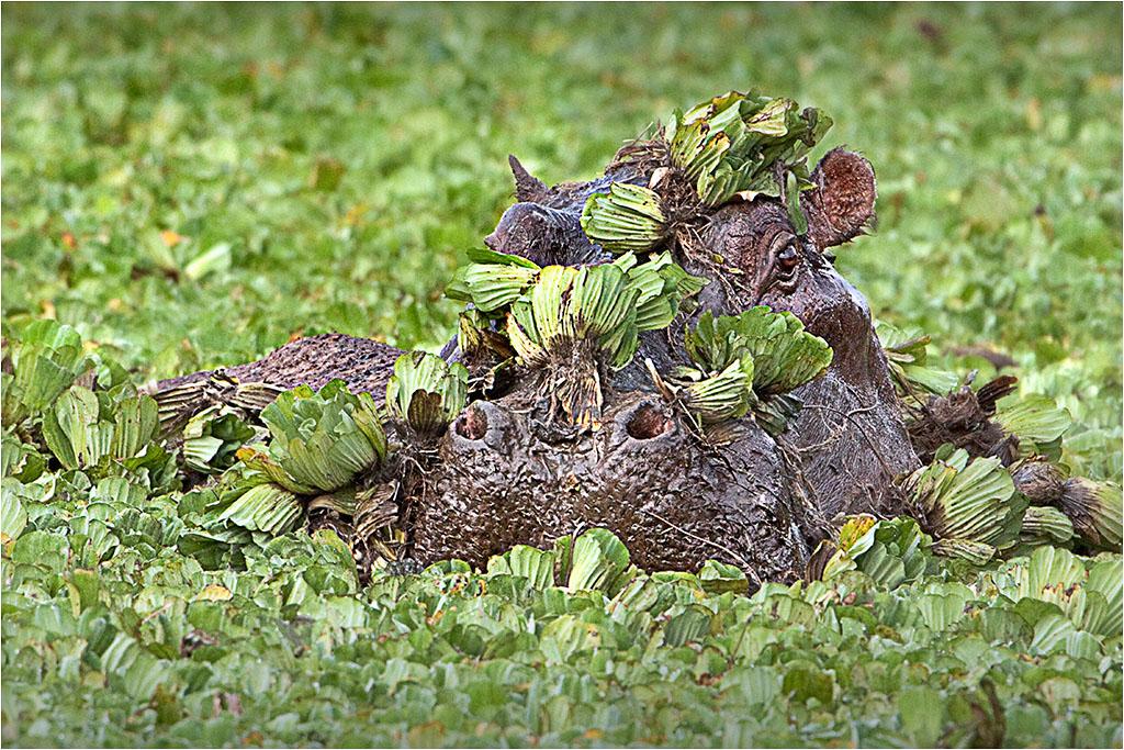 CAMOUFLAGED HIPPO © Ian Francis ARPS DPAGB
