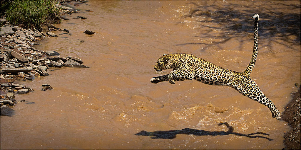 LEAPING LEOPARD © Ian Francis ARPS DPAGB